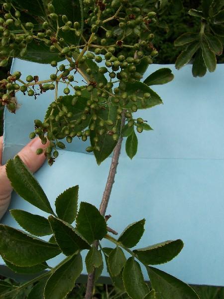 Isles en marche nature et survie plante m dicinale for Plante 7 folioles