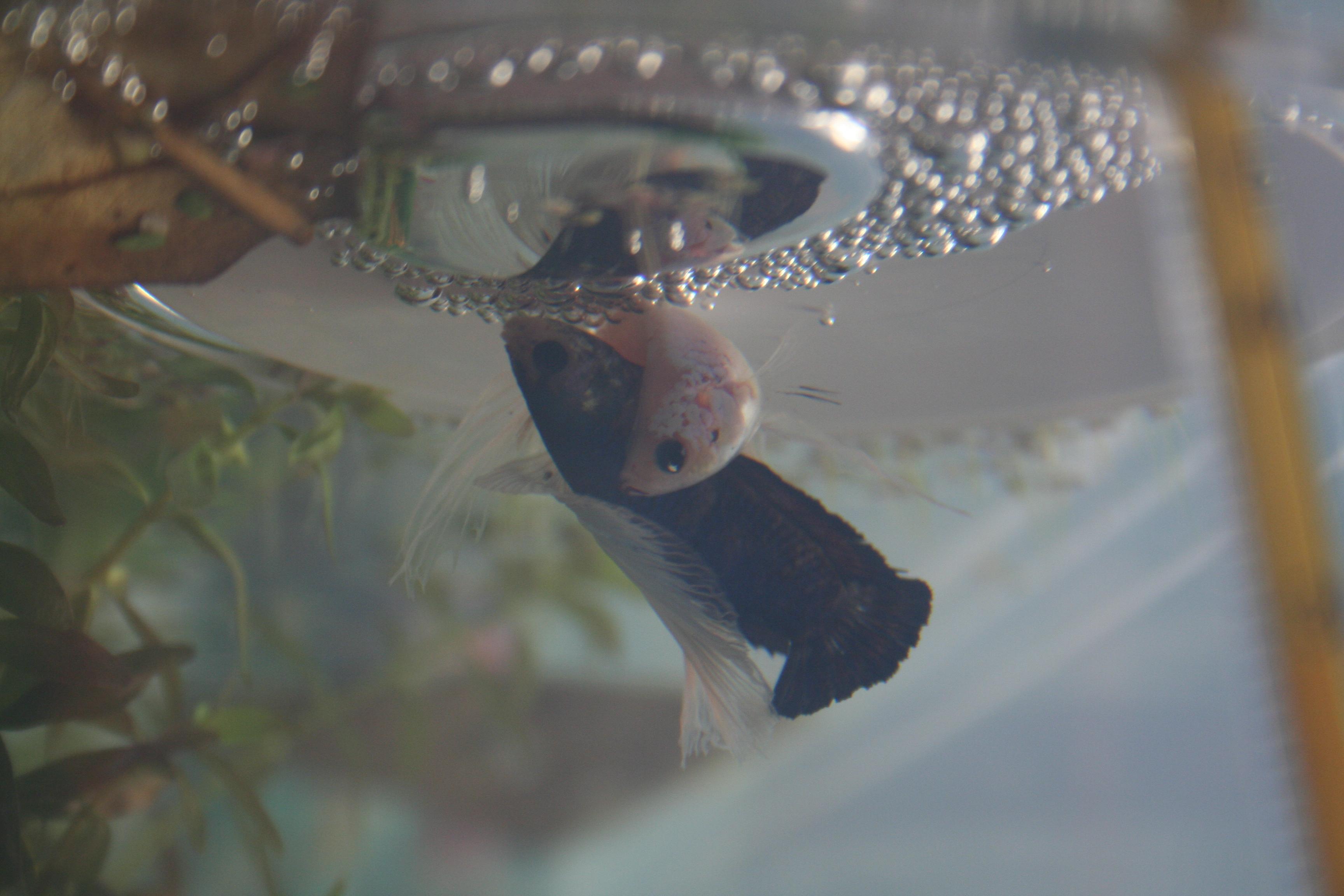 Lancement SD x HM marbrés (Avis comportement mâle ?) 035-46629e8